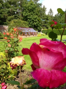 Roses with Greenhouse behind