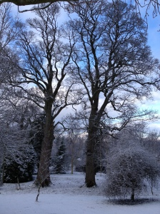 2 big trees in snow