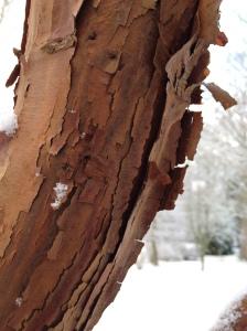Acer bark