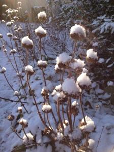 phlomis with snow