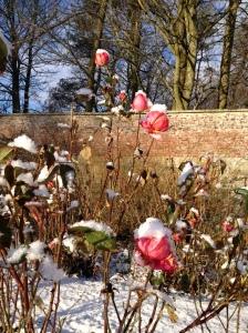 roses in snow