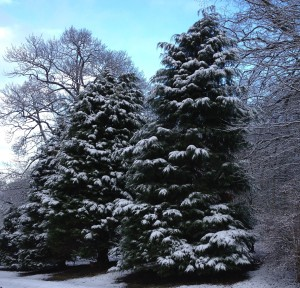 snow on conifers