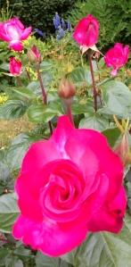 photo roses 2