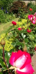 photo roses 3